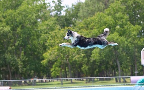 Picture jump, dog, pool, flight, The border collie