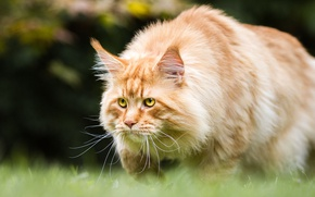Picture cat, grass, cat, look, nature, background, red, is, handsome, powerful, Maine Coon, yellow eyes