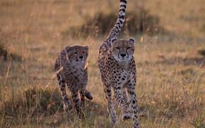 Picture Savannah, wild cats, cheetahs, catch-up