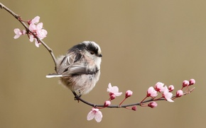 Picture flowers, cherry, bird, branch, spring, long-tailed tit
