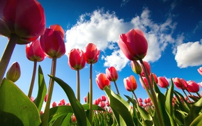 Picture the sky, tulips, view