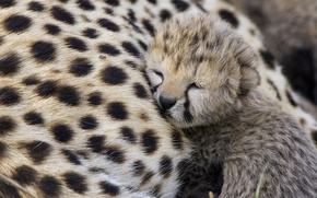 Wallpaper predator, Cheetah, cub, Cheetah