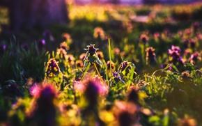 Picture greens, summer, grass, sunset, Lungwort, backlight