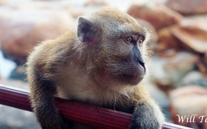 Picture monkey, brown, macro, close, look, full