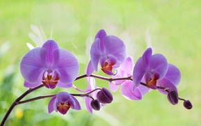 Picture greens, blur, spring, Orchid