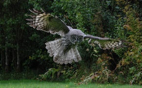 Picture WINGS, FLIGHT, BIRD, OWL, FEATHERS