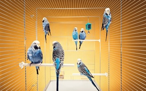 Picture cell, Birds, budgerigars