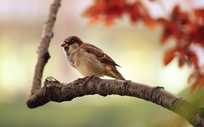 Wallpaper birds, branch, Sparrow