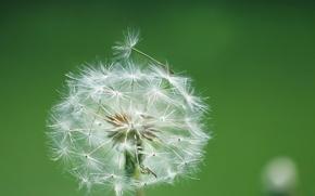 Picture flower, dandelion, blade of grass