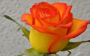 Picture macro, nature, rose, plant, petals, Bud