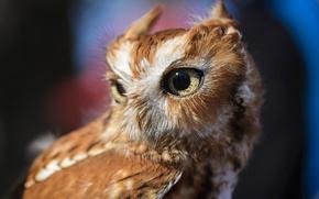 Picture eyes, owl, bird