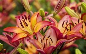 Wallpaper macro, Lily, beauty, buds