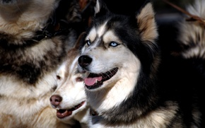 Picture dogs, eyes, pack, husky