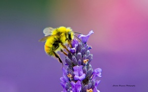 Picture flower, macro, bee, lavender
