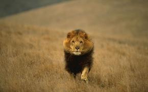 Picture cat, animal, Leo, king, all, animals, predatory