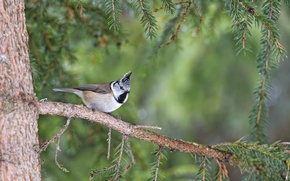 Picture spruce, branch, bird, tit, crested