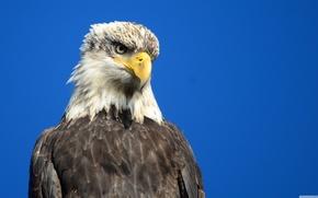 Picture bird, predator, Eagle