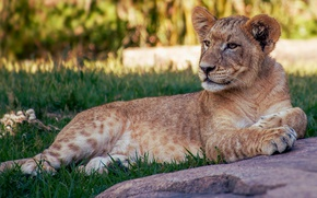 Picture grass, cats, pose, stay, stone, Leo, lies, wild cats, lion, pride