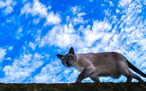 Picture cat, the sky, clouds