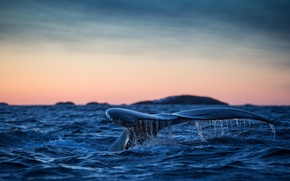 Picture tail, The Atlantic ocean, humpback whale