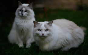 Picture grass, look, cats, nature, cats, pair, blue-eyed