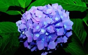 Picture blue, hydrangea, inflorescence
