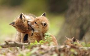 Wallpaper Fox, background, nature