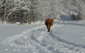 Picture snow, cow, winter