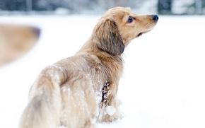 Picture snow, dog, walk