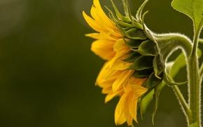 Wallpaper sunflower, macro, yellow