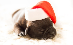 Picture white, red, background, new year, Christmas, dog, small, muzzle, sleeping, puppy, lies, fur, Santa Claus, ...
