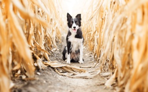 Picture autumn, dog, corn