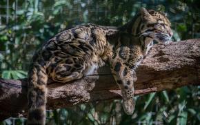 Picture cat, the sun, profile, log, clouded leopard