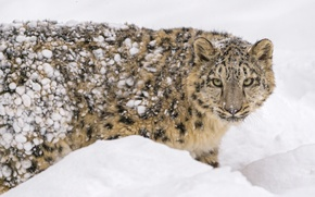 Picture predator, snow, snow leopard, winter, face, snow leopard, fur, IRBIS, zoo, young, cub, wild cat, ...