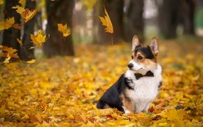 Picture autumn, leaves, tie, Corgi