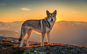 Picture look, the sun, landscape, each, dog, wolfdog