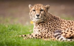 Picture cat, grass, Cheetah