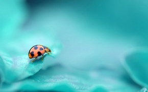 Picture BACKGROUND, COLOR, INSECT, TURQUOISE, LADYBUG