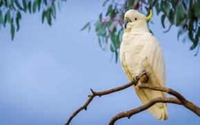 Picture branch, parrot, Big jeltuhay cockatoo