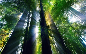 Picture forest, summer, rays, light, CA, USA, August