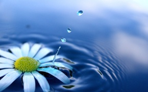Picture water, flowers, squirt, Daisy, drop, flower, drop, water, water drops, splash, daisy, water drop
