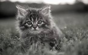Picture grass, kitty, grey, brooding eyes