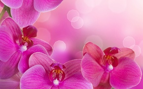 Picture flowers, tenderness, beauty, petals, orchids, Orchid, pink, flowers, beauty, Phalaenopsis, phalaenopsis, Orchid, petals, tenderness, bright, …