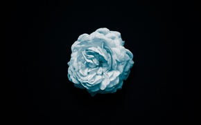 Picture flower, macro, rose, black background, blue