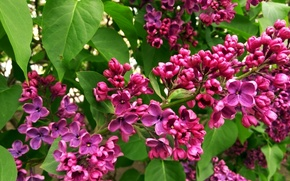 Picture greens, flowers, Lilac