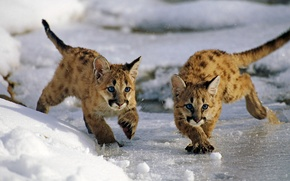 Picture ice, winter, snow, cats, Utah, USA, Uinta National Forest, mountain lions