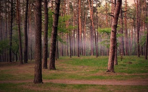 Wallpaper pine, trees, forest