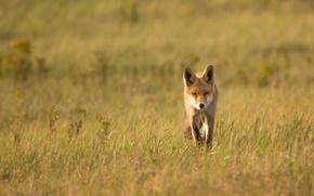 Wallpaper summer, Fox, nature