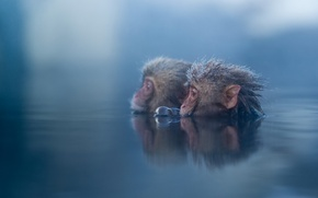 Picture water, nature, monkey