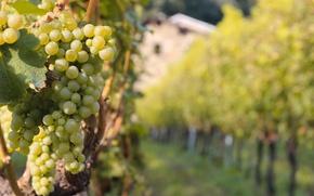 Picture Italy, wine, food, grapes, farm, vineyard, Valtellina